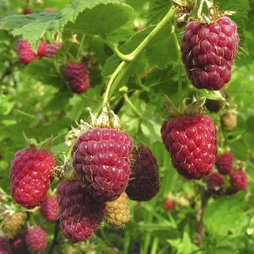 Raspberry 'Joan J' (Autumn fruiting)