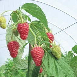 Raspberry 'Autumn Treasure' (Autumn fruiting)