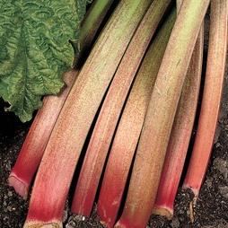 Rhubarb 'Victoria' (Spring/Autumn Planting)