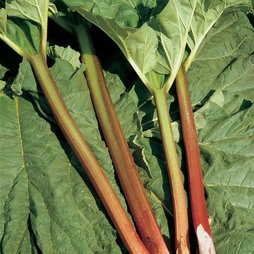 Rhubarb 'Timperley Early' (Spring/Autumn Planting)