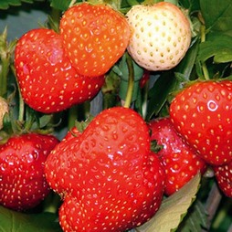 Strawberry 'Alice' (Mid Season)
