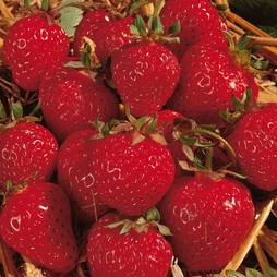 Strawberry 'Honeoye' (Early Season)