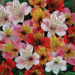 Alstroemeria 'Planet Mixed'