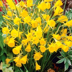 Narcissus bulbocodium 'Golden Bells'