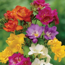 Freesia 'Crown Jewels Mixed'