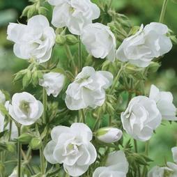 Geranium pratense 'Laura'