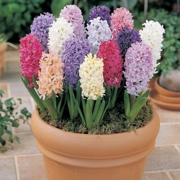 Hyacinth 'T&M Mix'