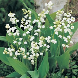 Lily of the Valley (White)