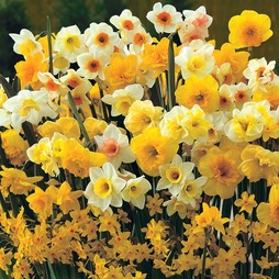 Narcissus 'Sweet Aroma Mixed'