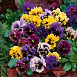 Pansy 'Frizzle Sizzle' Mixed
