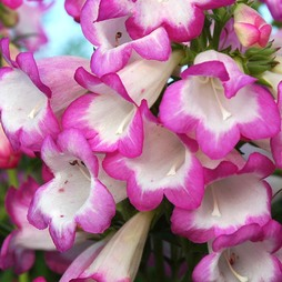 Penstemon 'Laura'