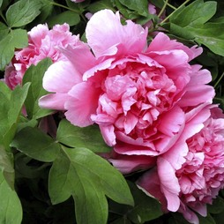 Tree Peony 'Hu Hong' (Hu's Red)