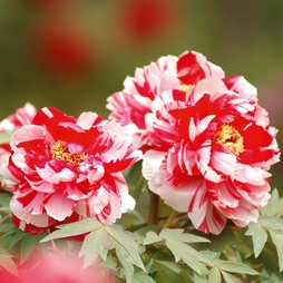 Tree Peony 'Dai Jin' (Striped Beauty)