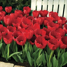 Tulip 'Red Impression'