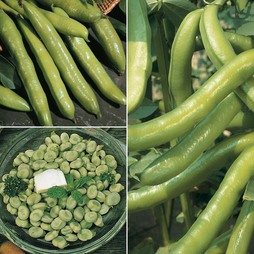 Broad Bean Collection