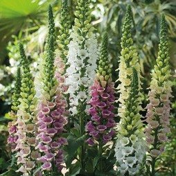 Foxglove 'Mountains Collection'
