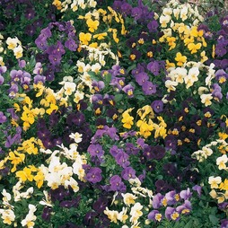 Pansy 'Bedding Supreme Mixed'