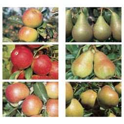 Apple and Pear Family Collection