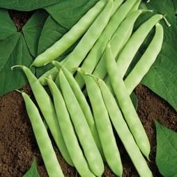 Dwarf Bean 'Dulcina'