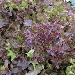 Lettuce 'Red Salad Bowl' (Loose-Leaf) - Vita Sementi® Italian Seeds