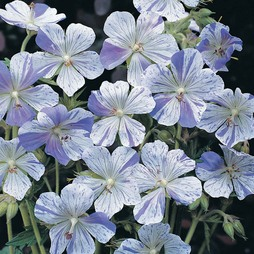 Geranium pratense 'Splish Splash™'