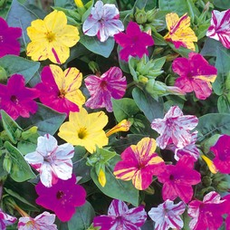 Mirabilis jalapa 'Broken Colours'