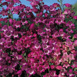 Penstemon 'Miniature Bells Mixed'