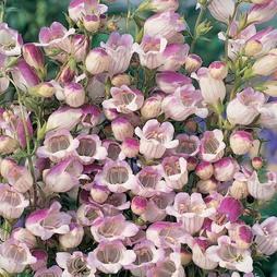 Penstemon x hybrida 'Lilac Frost'