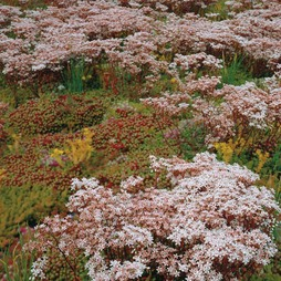 Sedum 'Rock Garden Mixed'