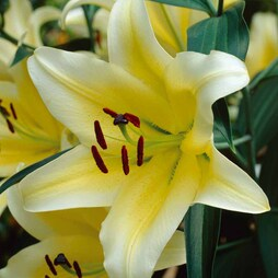 Tree Lily® 'Yellow Rocket'