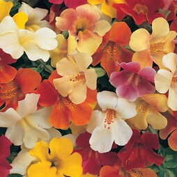 Mimulus x hybridus 'Magic Rainbow'