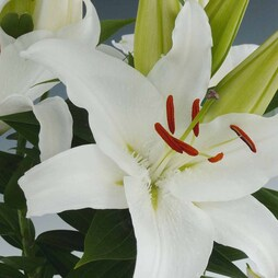 Lily 'Colour Carpet™ Sparkler'