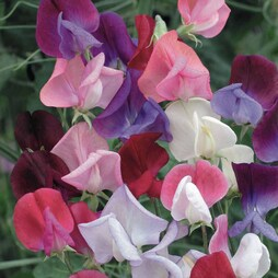 Sweet Pea 'Heirloom Bicolour Mixed'