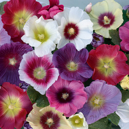 Hollyhock 'Halo Mixed'