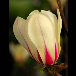 Magnolia 'Sunrise'