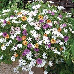 Osteospermum 'Falling Stars'™ (Sunbrella)