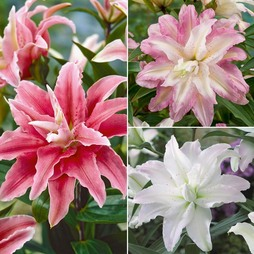 Tree Lily 'Crystal' Collection