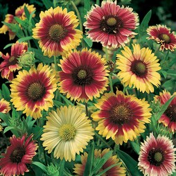 Gaillardia x grandiflora 'T&M Reselected Hybrids'