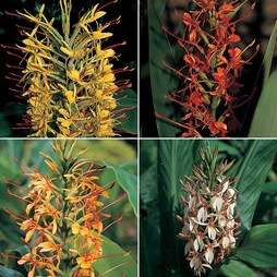Hedychium 'Species Mixed'