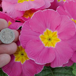 Primrose 'T&M's Special Giant Flowered Strain'