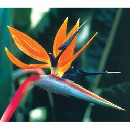 Strelitzia reginae (Dwarf) - Exotic Seed Collection