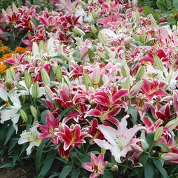 Lily 'Colour Carpet Mixture'
