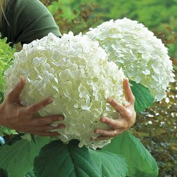 Hydrangea arborescens 'Giant Incrediball'