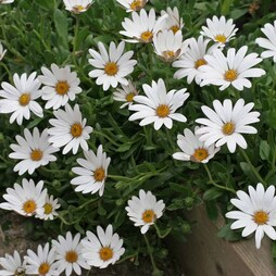 Osteospermum 'Snow Pixie' (Hardy)