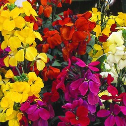 Wallflower 'Most Scented' Mix