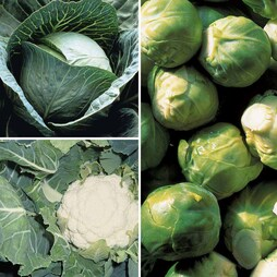 Brassica 'Clubroot Resistant Collection B'