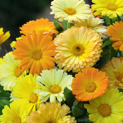 Calendula officinalis nana 'Fruit Twist'