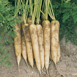 Carrot 'White Satin' F1 Hybrid