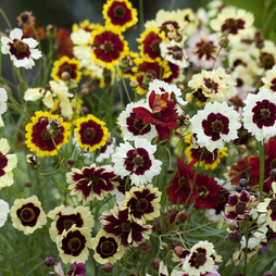 Coreopsis x hybrida 'Incredible'