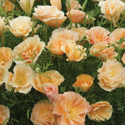 Californian Poppy 'Peach Sorbet'